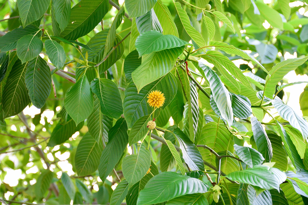 Transgressions Of Kratom For Power